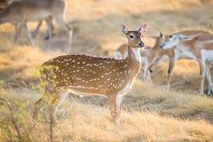 Chital hjortDoe Royaltyfri Foto