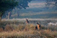 Chital hjortfamilj på gryning i skog i den Kanha nationalparken Indien Royaltyfri Bild