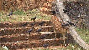Chital i wrony zbiory wideo