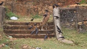 Chital i wrony zdjęcie wideo