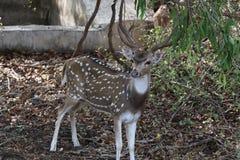 Chital - il cervo macchiato fotografie stock libere da diritti