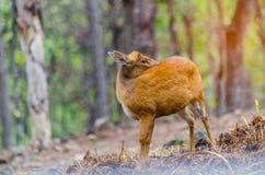 Chital im Wald Stockfoto