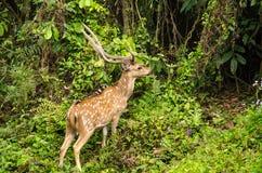 Chital ist Rotwild, lebt im Wald und ist pflanzenfressend Lizenzfreies Stockbild