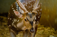 Chital jest jeleni Fotografia Royalty Free
