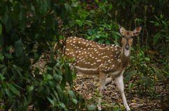 Chital jest, jest trawożerny, i jeleni, żywy w lesie Obraz Royalty Free