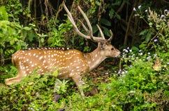 Chital jest, jest trawożerny, i jeleni, żywy w lesie Zdjęcia Stock