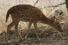 Chital Kitz Ranthambhore im Nationalpark, Indien stockfoto