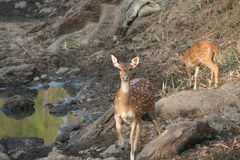 Chital looking OFF stock image