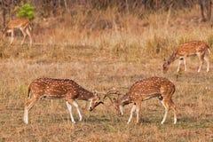 Chital lub cheetal deers (osi oś), Zdjęcie Royalty Free
