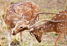 Chital lub cheetal deers (osi oś), Fotografia Royalty Free