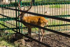 Chital lub cheetal jelenia osi oś Obrazy Stock