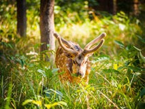 Chital Royalty Free Stock Photography