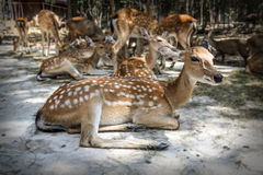 Chital and masses [ select focus ] at Khonkaen zoo., Thailand Royalty Free Stock Photography