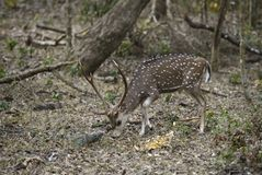 Chital - Axis axis, Sri Lanka. Chital in the national park forest, Sri Lanka Royalty Free Stock Images