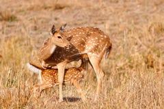 Chital o cervi cheetal (asse di asse), Immagine Stock Libera da Diritti
