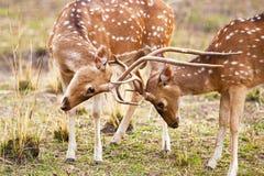 Chital o cervi cheetal (asse di asse), Fotografia Stock