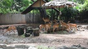 Chital oder beschmutzte Rotwild am Dusit-Zoo- oder Khao-Lärm Wana-Park in Bangkok, Thailand stock footage