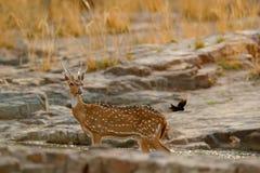 Chital oder cheetal, Achsenachse, beschmutzte Rotwild oder Achsenrotwild, Naturlebensraum Brüllen Sie majestätisches starkes erwa Lizenzfreie Stockbilder