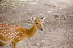 Chital oder cheetal Rotwild (Achsenachse) Stockfotografie
