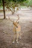 Chital oder cheetal Rotwild (Achsenachse) Lizenzfreie Stockfotos