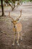 Chital oder cheetal Rotwild (Achsenachse) Lizenzfreie Stockbilder