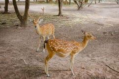 Chital oder cheetal Rotwild (Achsenachse) Stockfotos