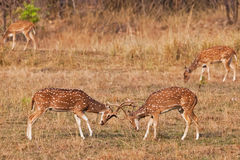 Chital ou cerfs communs cheetal (axe d'axe), Photo libre de droits