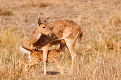 Chital ou cerfs communs cheetal (axe d'axe), Image libre de droits
