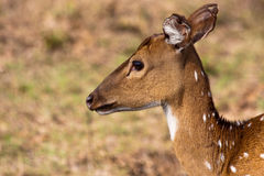 Chital Portrait. Chital (Axis Axis) portrait in Bandipur National Park, India Royalty Free Stock Photos