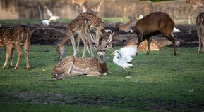 Chital, Spotted Deer, Axis Deer And Birds Nearby royalty free stock image