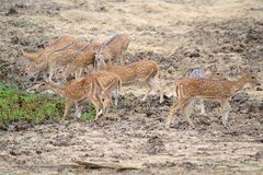 Chital, Spotted Deer or Axis Deer Royalty Free Stock Photo
