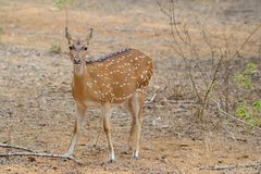 Chital, Spotted Deer or Axis Deer Royalty Free Stock Photos