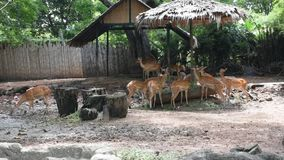 Chital or spotted deer at Dusit Zoo or Khao Din Wana park in Bangkok, Thailand. For Thai people and foreigner travelers walking visit and travel looking stock footage