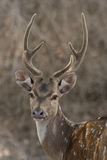 Chital Stag 2. Chital stag on the roadside in Masinagudi, India Royalty Free Stock Photography