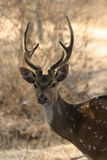 Chital stag deer Stock Photo