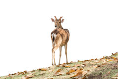 Chital Royalty Free Stock Image