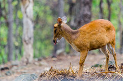 Chital w lesie Fotografia Royalty Free
