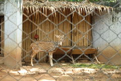 Chital at the zoo. Chital stands in a cage at the zoo Royalty Free Stock Photography