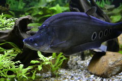 Chitala Notopterus Стоковое Изображение