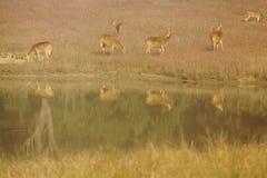 Chitalherten bij Bar in het Nationale Park van Kanha, India Stock Afbeelding