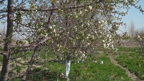 Chitalpa drzewny chodzenie w wiatrze zdjęcie wideo
