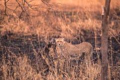 Chitas no savana africano Safari no savana do parque nacional de Serengeti, Tanz?nia Perto de Maasai Mara, Kenya queimado imagens de stock