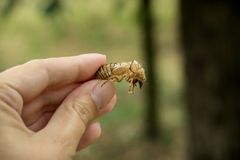Chitin exoskeleton of cicada Tibicina haematodes in the hand. Collected in the Kosutnjak forest in Belgrade, Serbia stock photo