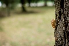 Chitin exoskeleton of cicada Tibicina haematodes on the tree. In Kosutnjak forest in Belgrade, Serbia stock images