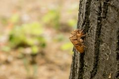 Chitin exoskeleton of cicada Tibicina haematodes on the tree. In Kosutnjak forest in Belgrade, Serbia royalty free stock photo