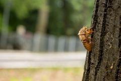 Chitin exoskeleton of cicada Tibicina haematodes on the tree. In Kosutnjak forest in Belgrade, Serbia royalty free stock images