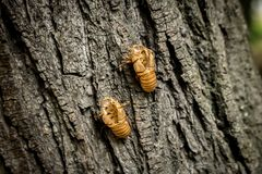 Chitin exoskeleton of cicada Tibicina haematodes on the tree. In Kosutnjak forest in Belgrade, Serbia stock photos