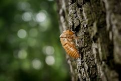 Chitin exoskeleton of cicada Tibicina haematodes on the tree. In Kosutnjak forest in Belgrade, Serbia royalty free stock image