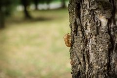 Chitin exoskeleton of cicada Tibicina haematodes on the tree. In Kosutnjak forest in Belgrade, Serbia stock photography