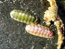 Chitons Stock Photography